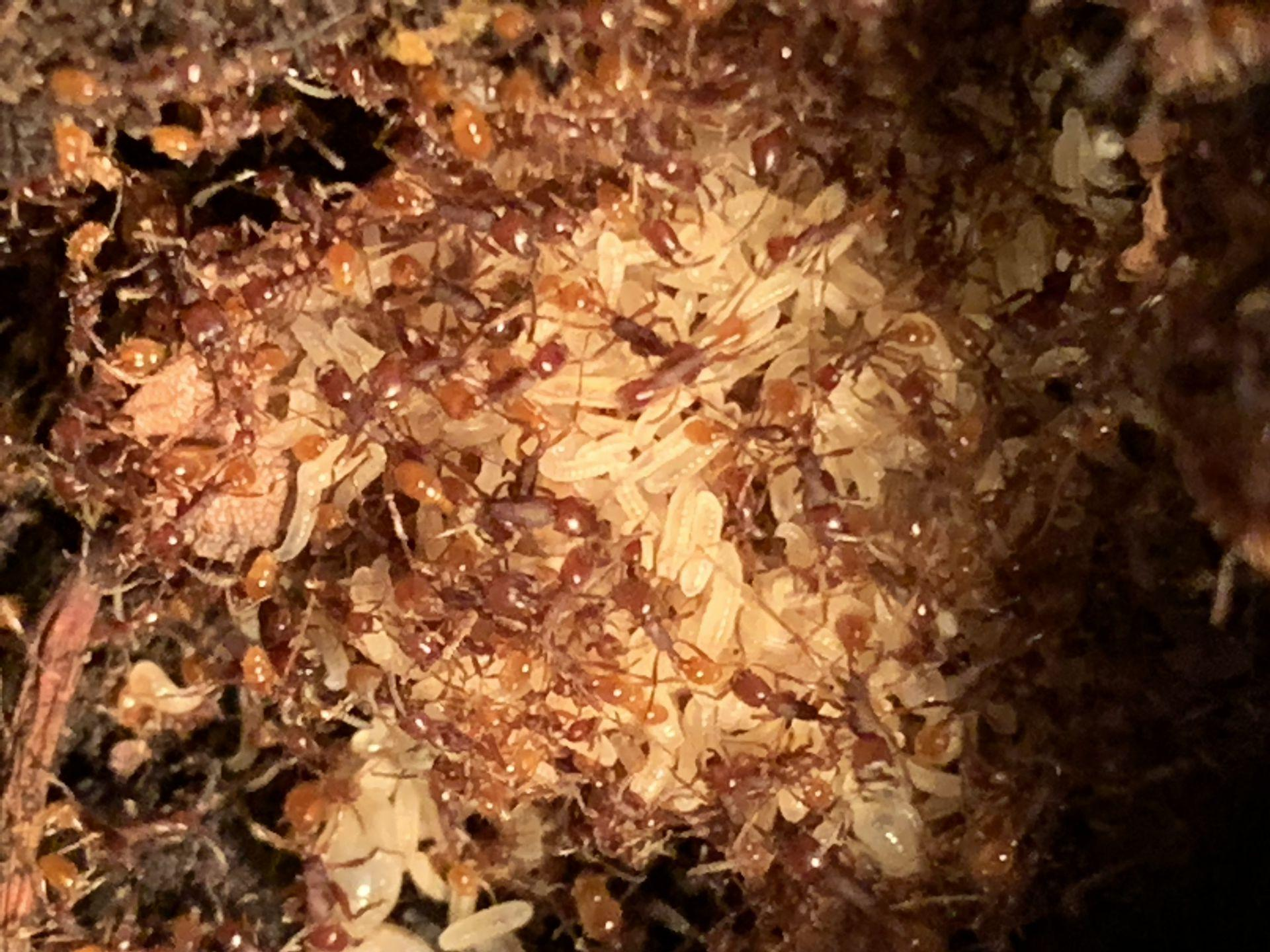 N.opacithorax larvae1