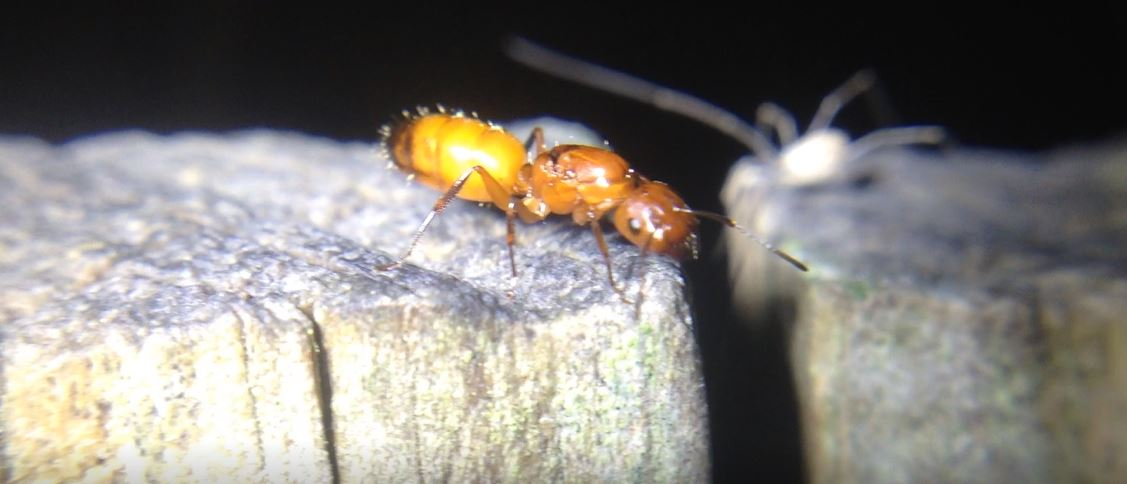 Camponotus snellingi Orange