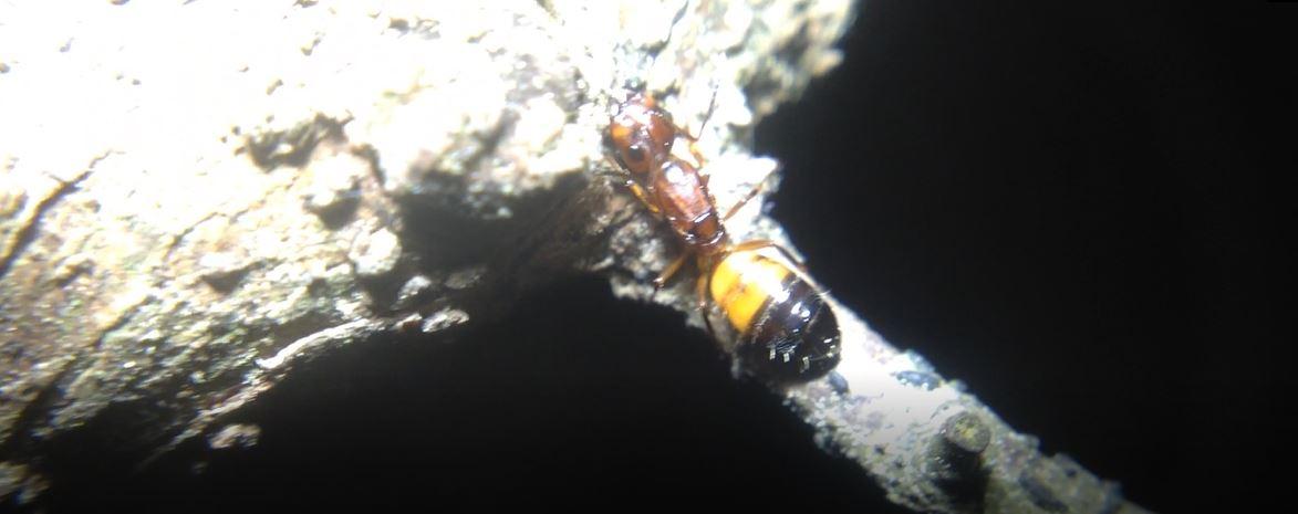 Camponotus snellingi Dark Red