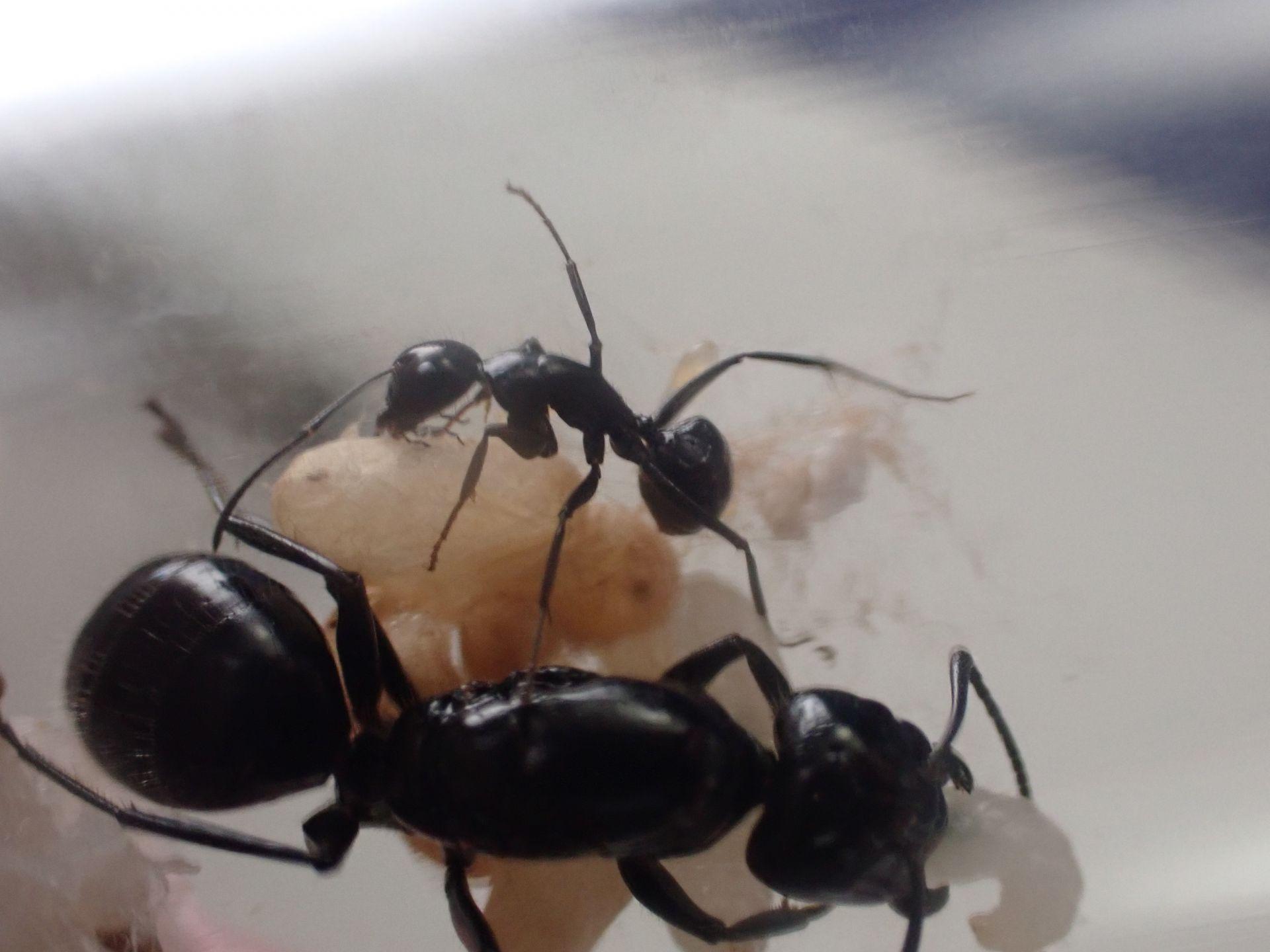 Camponotus laevigatus colony 2