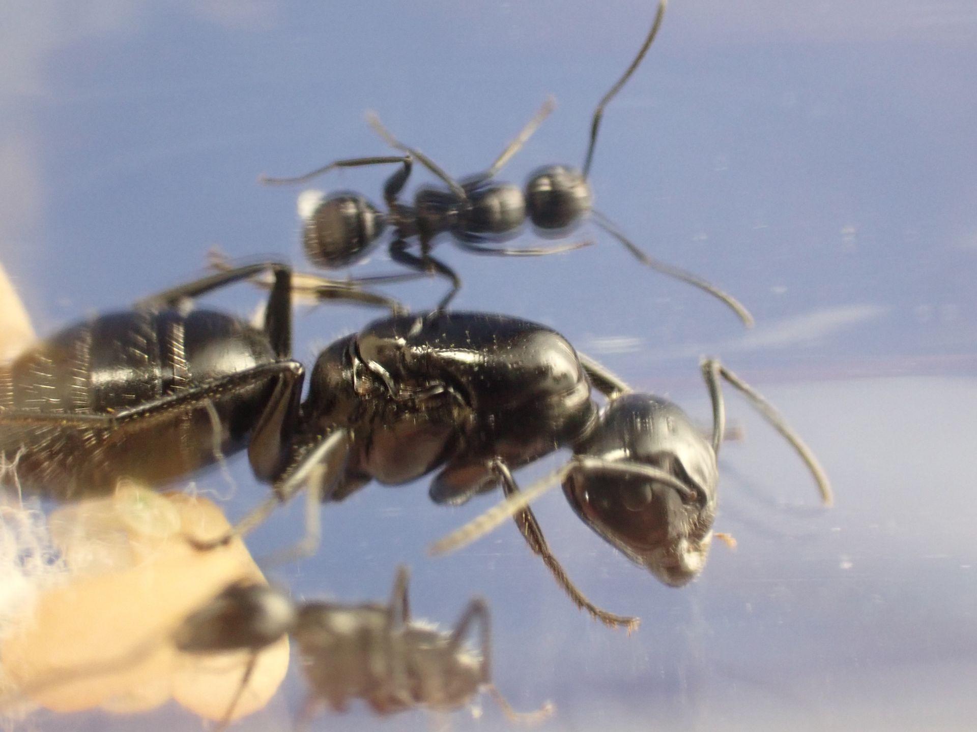 Camponotus laevigatus colony 1 (2)