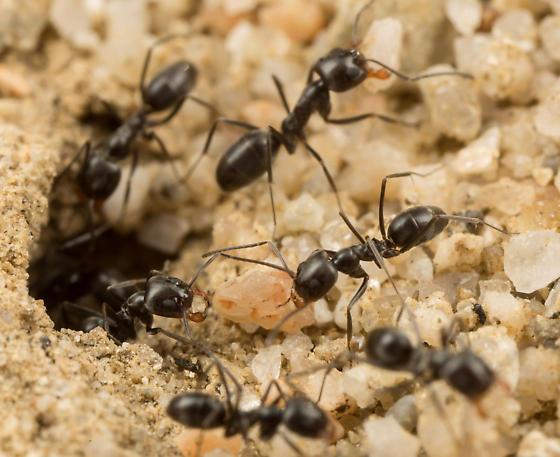 Pyramid Ant (Possible Dorymyrmex insanus)