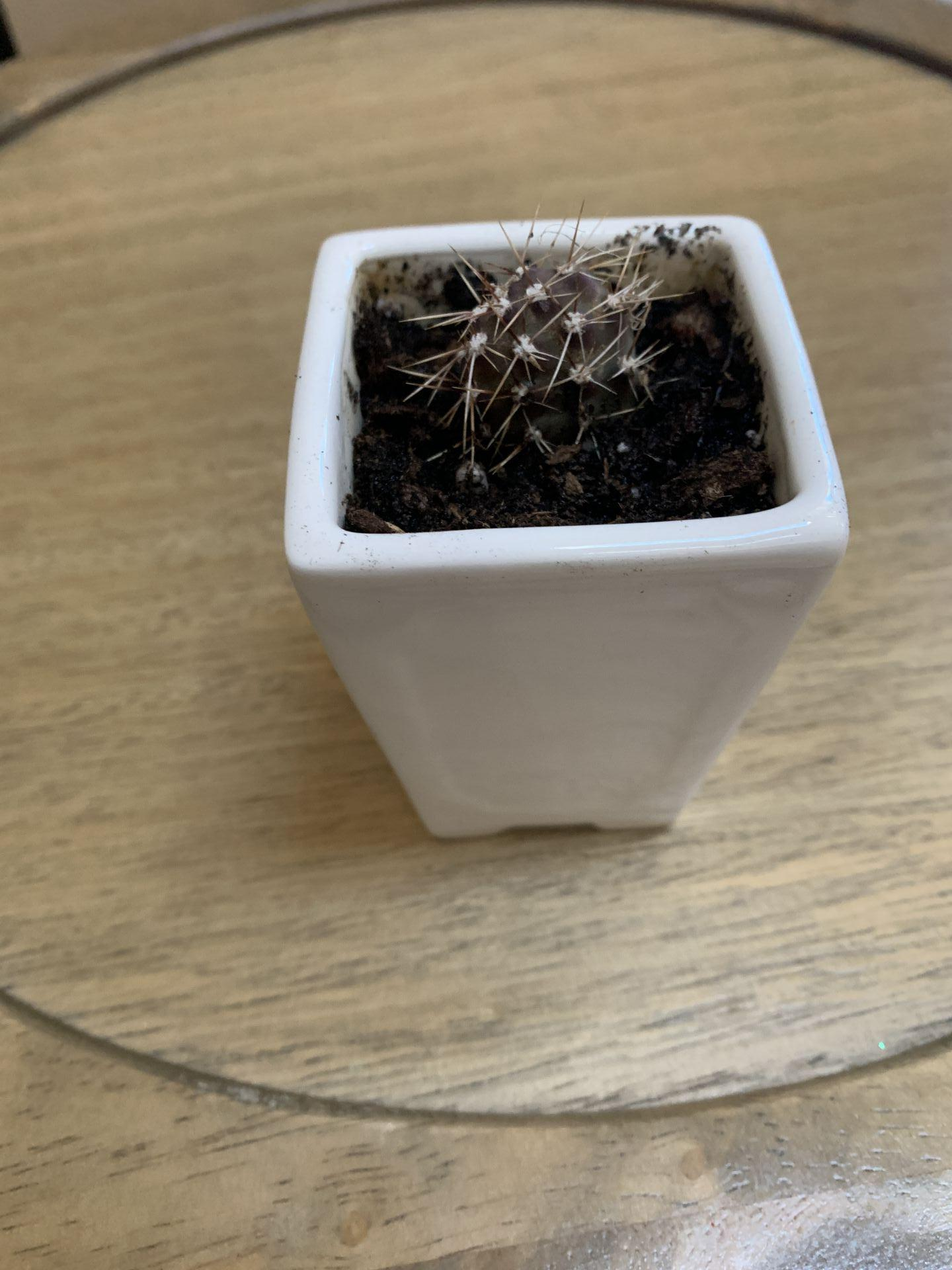 Opuntia planted