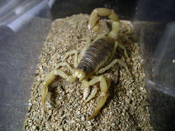 Scorpion ID (Hadrurus arizonensis?) Med_gallery_2_625_821409