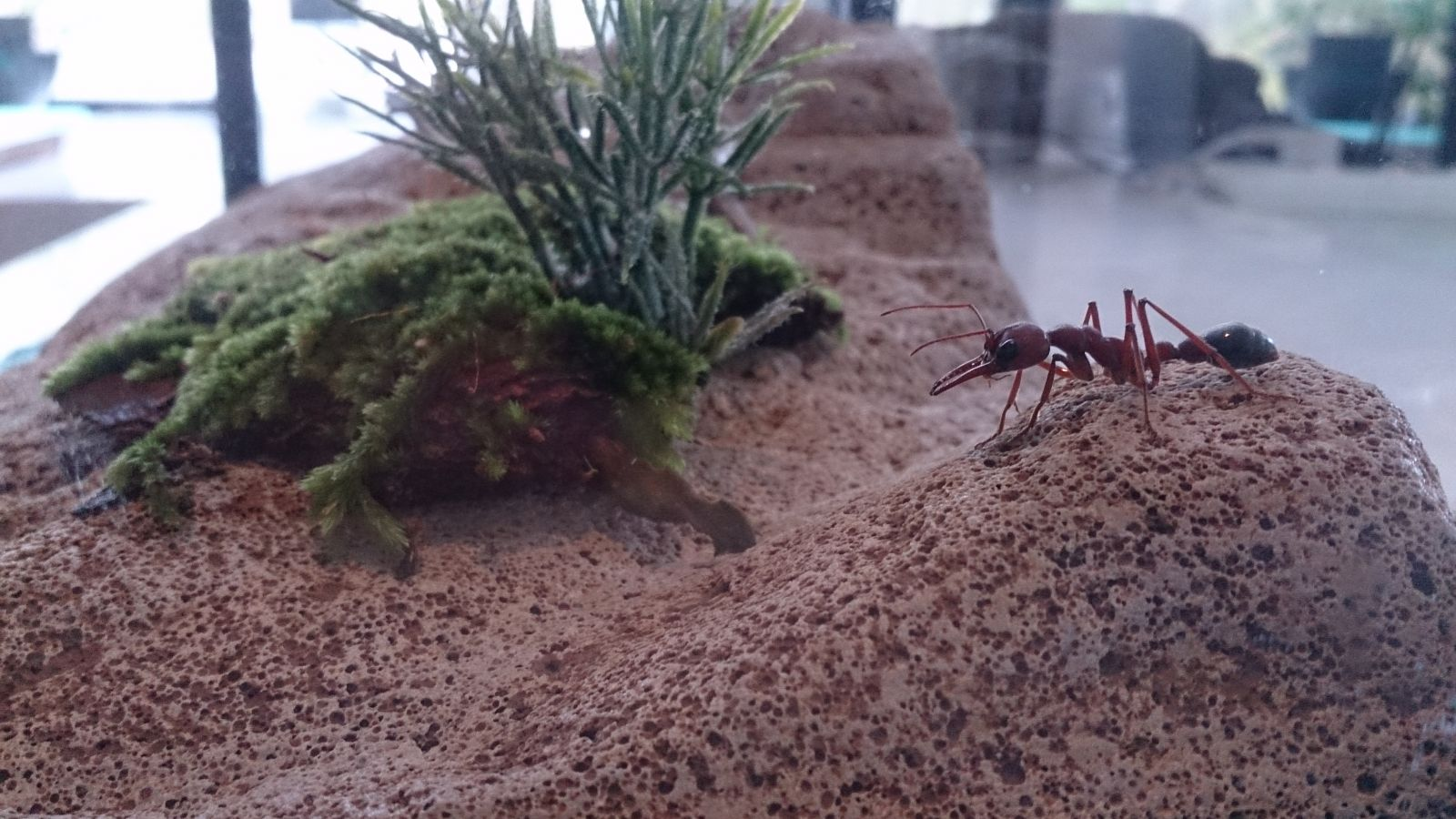 Bull ant on a hill