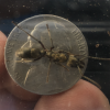 Queen Ant ID Please