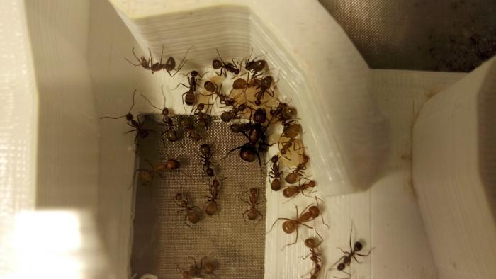 Camponotus nicobarensis Nest I