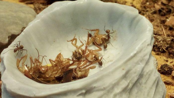 Camponotus nicobarensis Feeding I