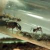Camponotus rufipes I