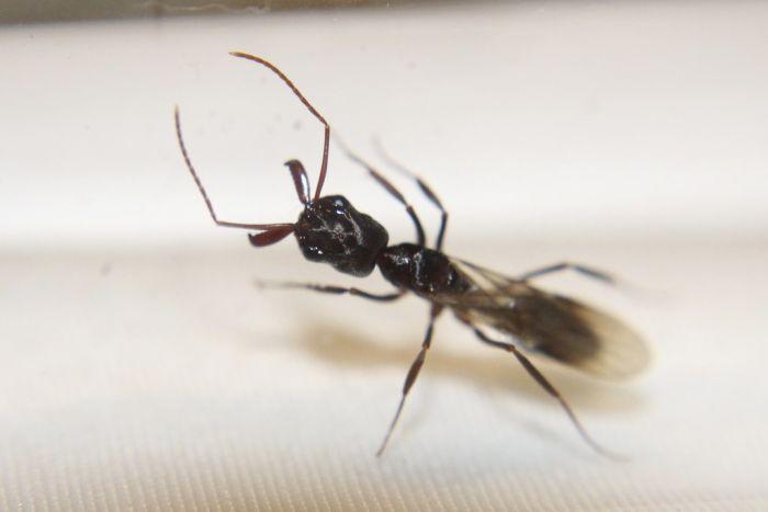 Odontomachus haematodus queen