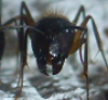 Colophonius' ant keeping journal - last post by Colophonius
