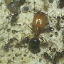 Antmaniac's Pheidole Sp. - last post by antmaniac