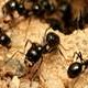 T.C.'s Camponotus pennsylvanicus Journal | #2 - last post by antnest8