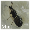 Ants in a mint scent [begginer F. Cinerea journal]; - last post by Mint