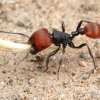 Lehawkrocks' ant adoption! (Bay Area, California) Tetramorium Immigran (Best beginner species) Now available!! - last post by Derpy
