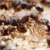Care Sheet - Camponotus novaeboracensis - last post by Mdrogun