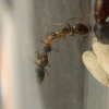rcbuggy88's Camponotus modoc Journal (Updated 6/29/20) - last post by rcbuggy88