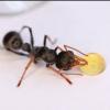 Wraths Myrmecia Pilosula Colony (Jumping jack ants) - last post by xXxWrathxXx