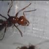 AntsAlberta's Journal (Species named in each post) - last post by AntsAlberta