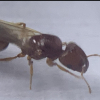 yibsi's tetramorium atratulum journal (Updated 7-11-21) introduction to workers - last post by yibsi