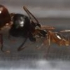 Sweets That Aphaenogaster spp. Will Accept - last post by noebl1